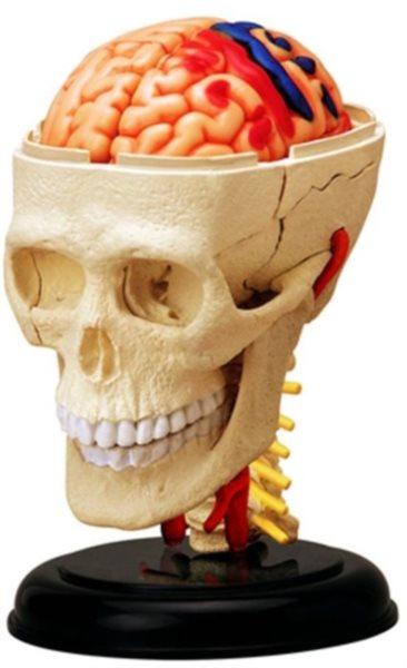 4D MASTER poškozený obal: Anatomický 4D model - Lebka