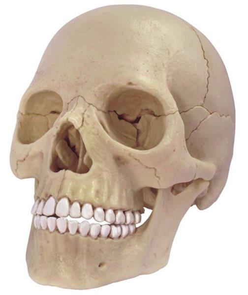 4D MASTER Anatomický 4D model - Lidská lebka