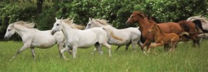 DINO Panoramatické puzzle Běžící koně 150 dílků