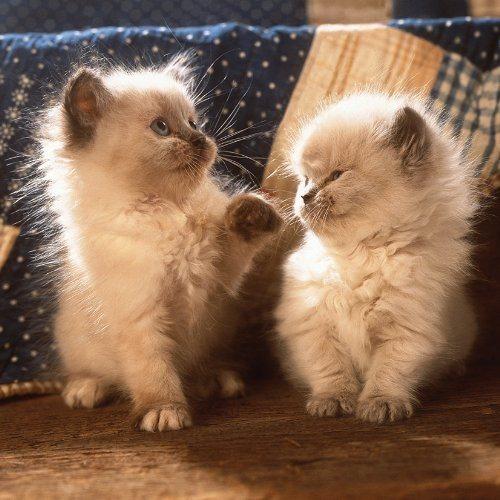Čtvercové puzzle RAVENSBURGER 500 dílků - Perská koťata
