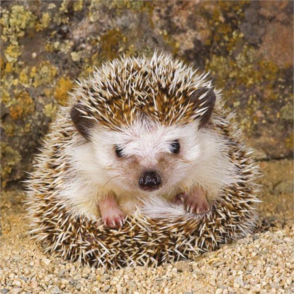 RAVENSBURGER Čtvercové puzzle Roztomilý ježek 500 dílků