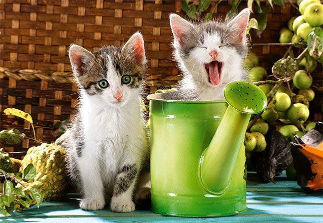 Puzzle CASTORLAND 1000 dílků - Koťata - malí zahradníci