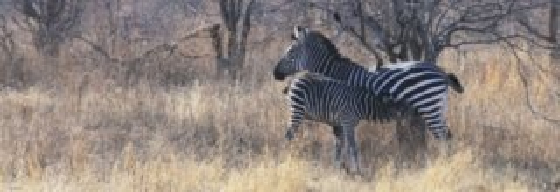 Panoramatické puzzle HEYE 1000 dílků - Krmení (Tanzanie)
