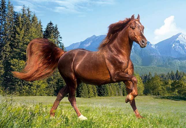 CASTORLAND Puzzle Kůň - Rocky Mountain 1000 dílků