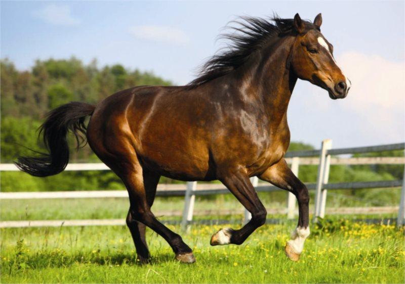 DINO puzzle 500 dílků - Kůň ve výběhu