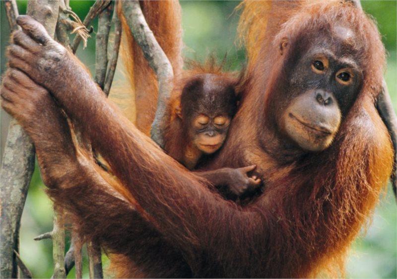 DINO puzzle 500 dílků - Orangutani