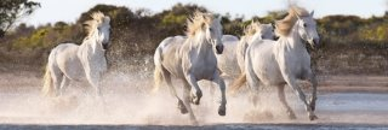 CLEMENTONI Panoramatické puzzle Běžící koně 1000 dílků