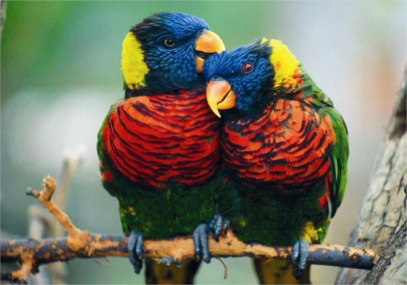 DINO puzzle 500 dílků - Papoušci