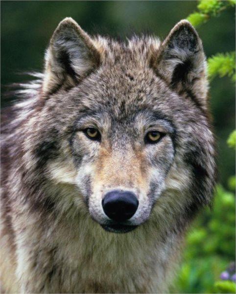 Puzzle RAVENSBURGER 500 dílků - Vlk