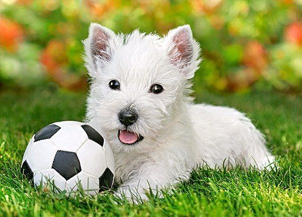 CASTORLAND Puzzle Bílý teriér a fotbal 60 dílků