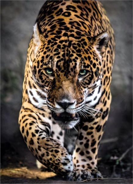 CLEMENTONI Puzzle Chůze jaguára 1000 dílků