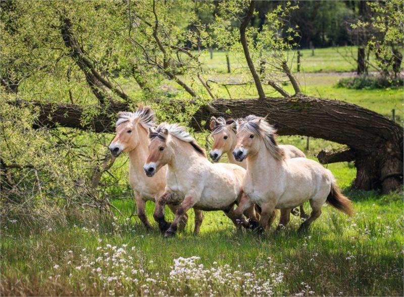 RAVENSBURGER Puzzle Fjordští koně 500 dílků
