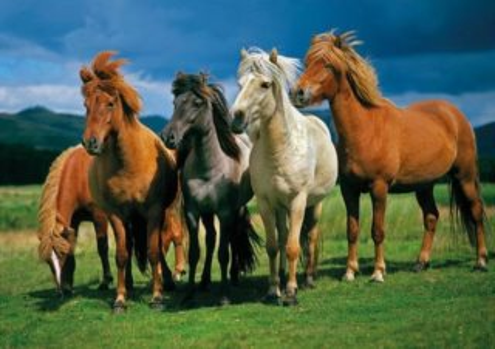 Puzzle DINO 1000 dílků - Islandští koně