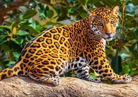 CASTORLAND Puzzle Malý jaguár 260 dílků