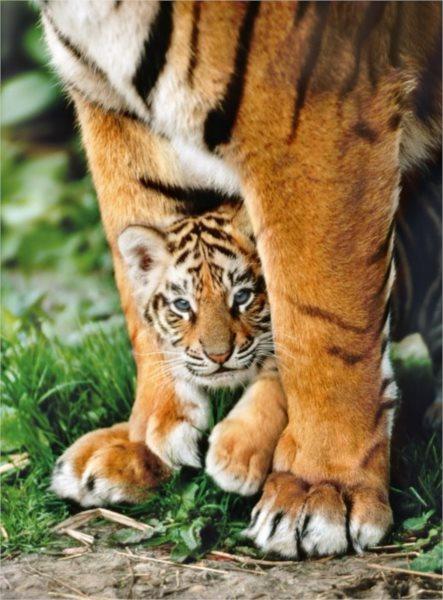 CLEMENTONI Puzzle Mládě bengálského tygra u matky 500 dílků
