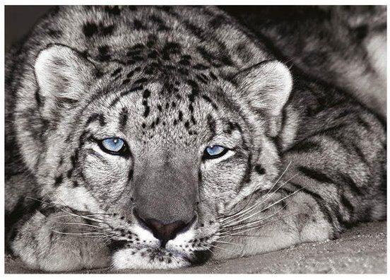 Puzzle DINO 502222 Modrooký tygr 500 dílků