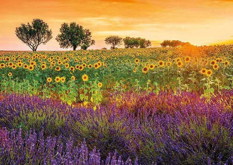 EDUCA Puzzle Pole slunečnice a levandule 1500 dílků