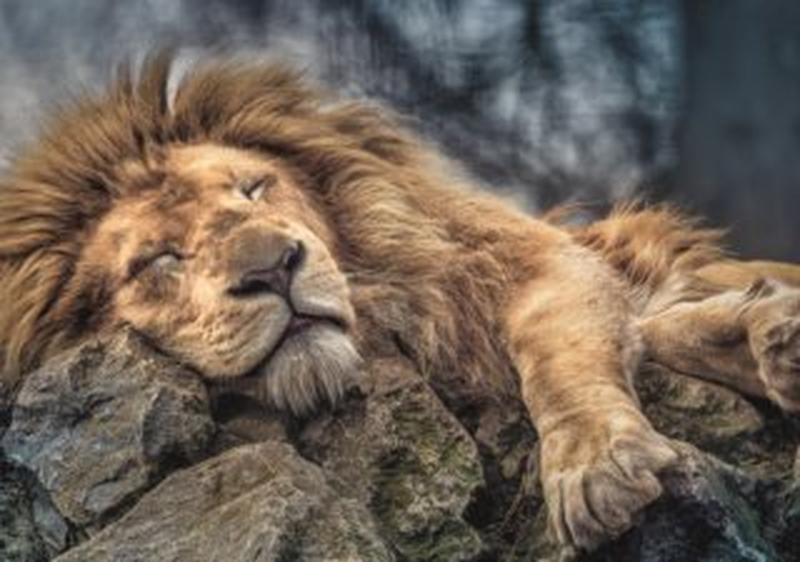TREFL Puzzle Spící lev 1000 dílků