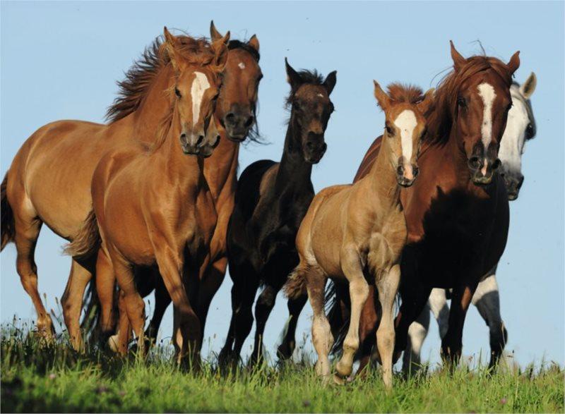 RAVENSBURGER Puzzle Stádo koní 500 dílků