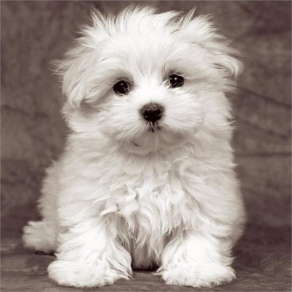 RAVENSBURGER Čtvercové puzzle Štěně maltézského psíka 500 dílků