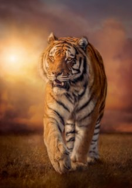 CLEMENTONI Puzzle Tygr 1500 dílků