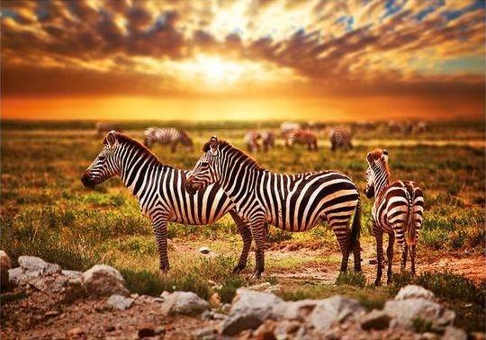 DINO puzzle 500 dílků - Zebry na poušti