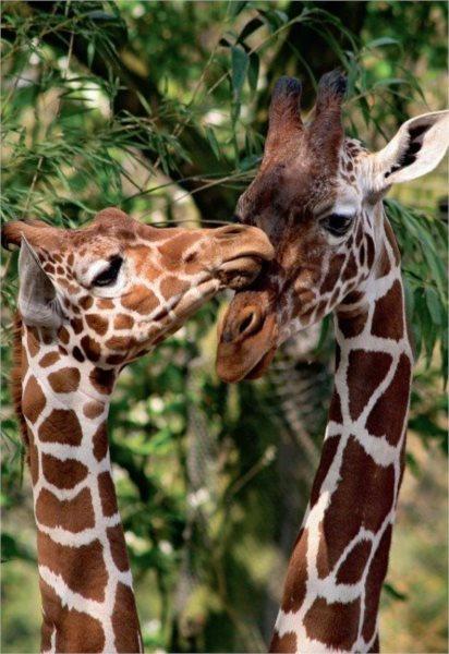 JUMBO Puzzle Žirafy 1000 dílků