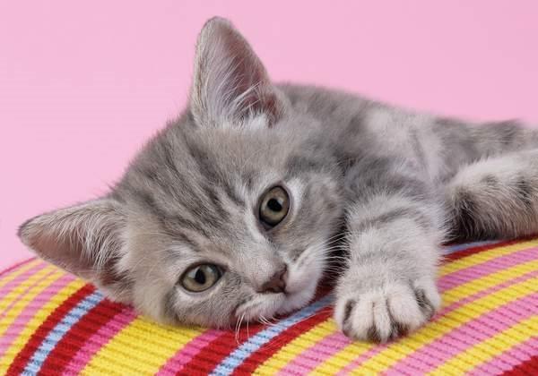 CLEMENTONI Puzzle Šedé koťátko 500 dílků