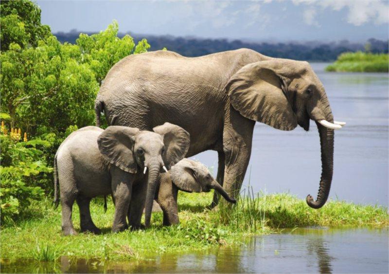 DINO puzzle 500 dílků - Sloní rodina
