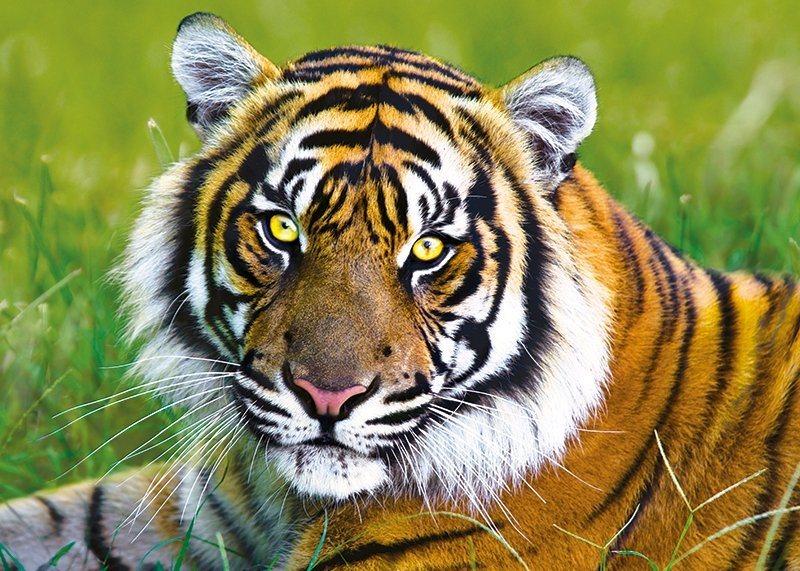 TREFL Puzzle Tygr 500 dílků