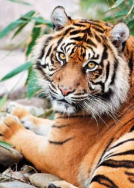 CLEMENTONI Puzzle Tygr sumaterský 1000 dílků