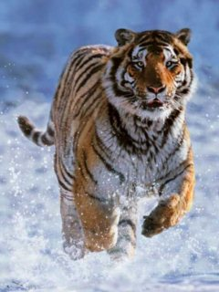 RAVENSBURGER Puzzle Tygr ve sněhu 500 dílků