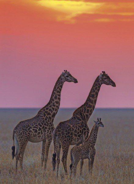 CLEMENTONI Puzzle Žirafí rodina při západu slunce 500 dílků