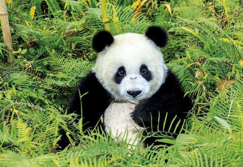 EDUCA Puzzle Medvídek panda 500 dílků | Puzzle-puzzle.cz Panda 500